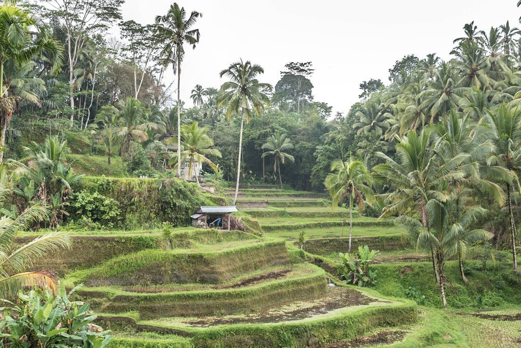 Cloudy day on the rice terraces in Tegallalang, Bali with palm trees in the background