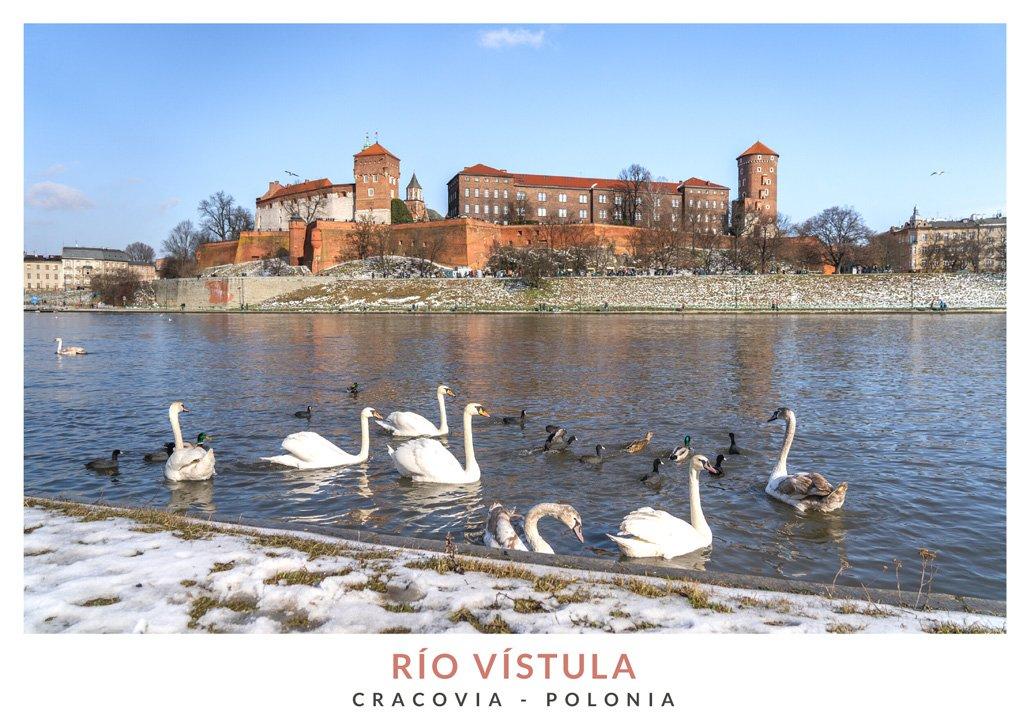 Cisnes blancos en el río Vistula, Cracovia